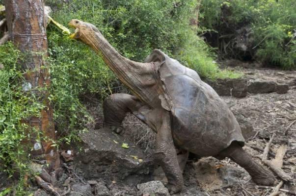 Megmentették az Espanola-szigeti óriásteknősöket