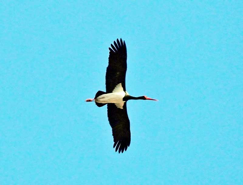 Elért hozzánk is Gemencbe az első fekete gólya