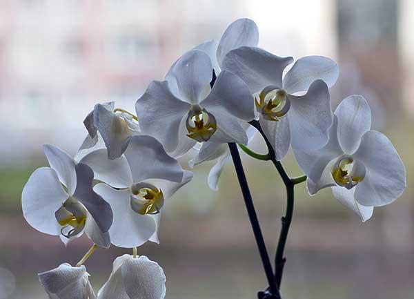 A vanília az adventi orchidea bemutató központi tematikája